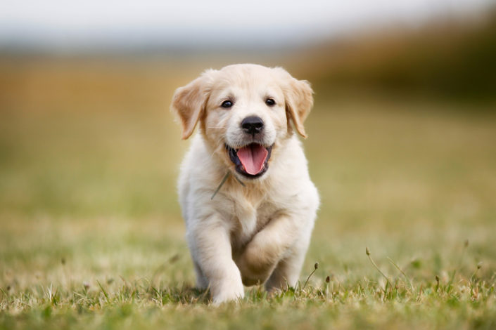 A Guide To Selecting a Breeder and a Puppy