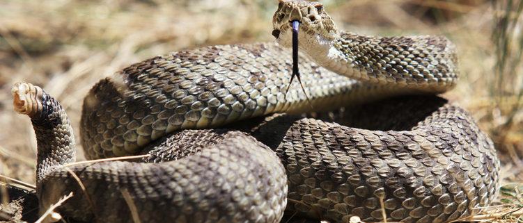 Rattlesnake Safety For Dogs