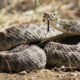 Rattlesnake Safety For Dogs