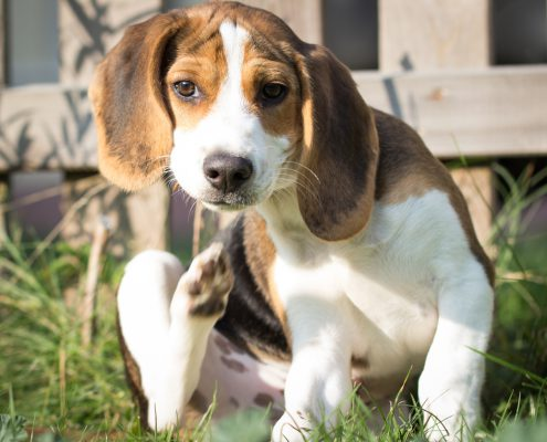 Fleas - How To Protect Yourself And Your Pets