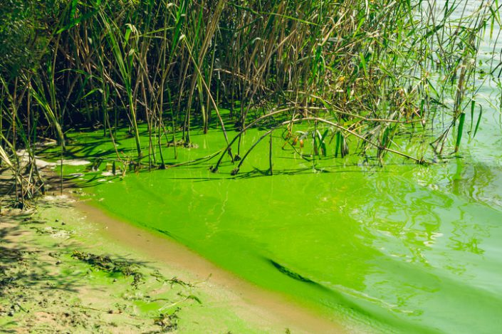 Algae Can Poison Your Dog