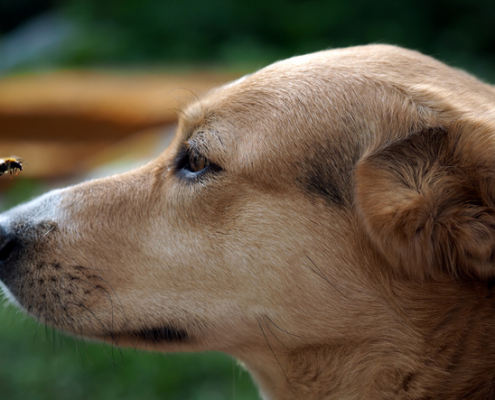Dog Stung by a Bee Here's What You Should Know.
