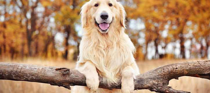 Spotlight Breed Golden Retriever