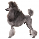 Spotlight Breed Poodle