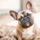 Spotlight Breed French Bulldog