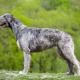 Spotlight Breed Irish Wolfhound