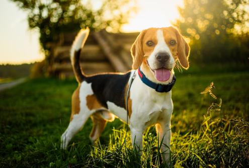 Spotlight Breed Beagle