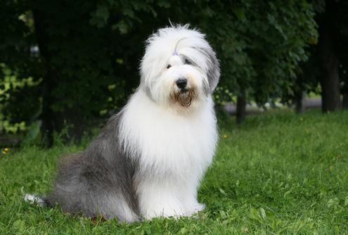 Spotlight Breed Old English Sheepdog