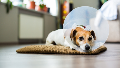 Dog Cones – What You Should Know