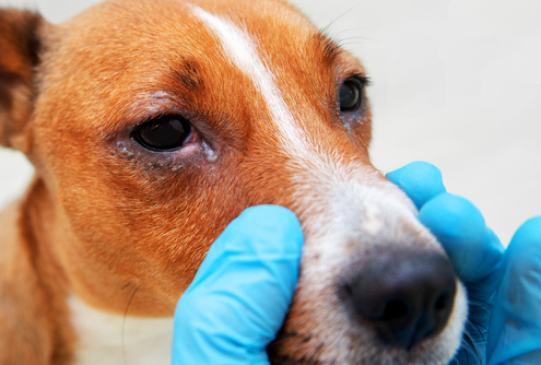 Dog Conjunctivitis (Pink Eye)