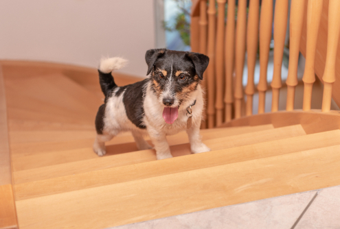 Stair Safety for Dogs