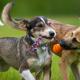 Dog Play vs. Dog Aggression