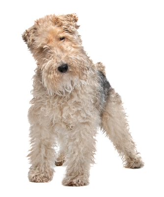 Wire-Haired Dog Breeds
